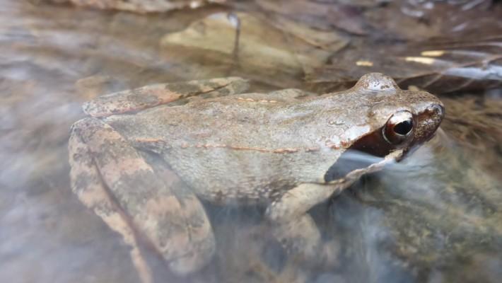 Laška žaba v Vipavski dolini